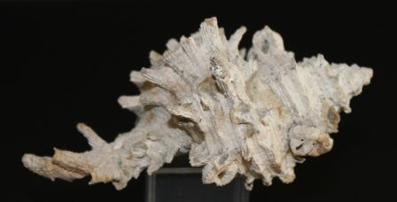 Murex Pliocénico