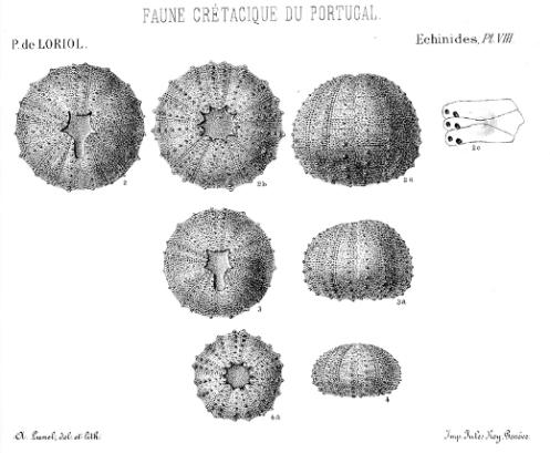 Heterodiadema ouremense de Loriol, planche 8